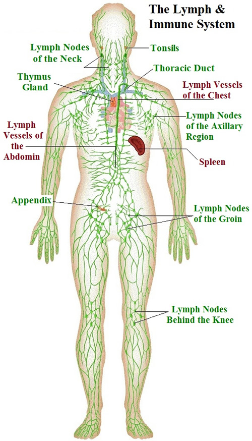 Lymphatic Drainage – Precision Massage Clinic